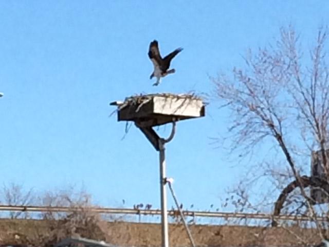 View the Osprey Cam